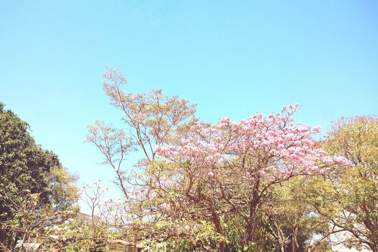 Flower Bsb Blue Pink Color Sky Beauty In Nature Nature Tranquility Low Angle View Tree Growth Branch Clear Sky Flower Beauty In Nature Blue Copy Space Scenics Nature Day Springtime High Section Pink Color Tranquility Tranquil Scene