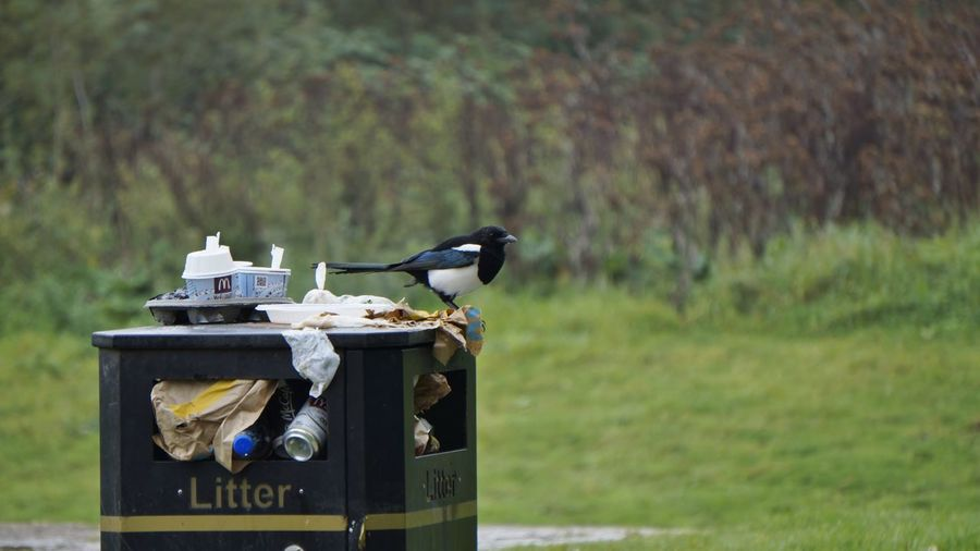 0680 Bird Photography Debris Food Waste Grass Rubbish Animal Themes Animal Wildlife Animals In The Wild Bird Close-up Day Focus On Foreground Food Food And Drink Litter Magpie Nature No People One Animal Outdoor Photography Outdoors Outside Packaging Perching