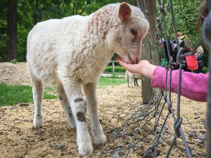 A girl feeding a cute lamb with it's open hand through a fence in a zoo Mammal Domestic Animals Vertebrate Pets Domestic Livestock Real People One Animal Land Day One Person Human Body Part Human Hand Hand Feeding  Eating Outdoors Herbivorous Finger Zoo Girl Open Feeding  Feeding Animals Lamb