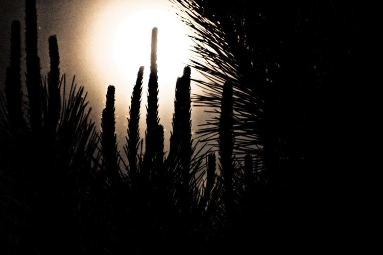 Beauty In Nature Bright Night Close-up Dark Grass Growing Growth Idyllic Nature No People Non-urban Scene Outdoors Outline Pine Tree Plant Remote Scenics Silhouette Sky Sun Sunset Supermoon Tranquil Scene Tranquility
