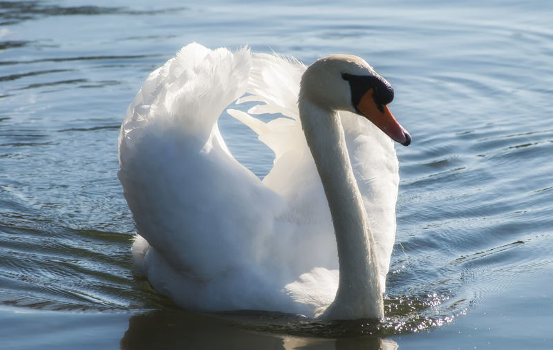 Sunday Swan Animals In The Wild Water Bird Animal Themes One Animal Nature Swimming Swan Animal Wildlife Lake Close-up Water Bird Beak No People Beauty In Nature Canoelake Beauty In Nature Southsea Portsmouth Hampshire