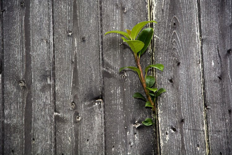 A branch making it's way out from within a wooden wall. Backgrounds Close-up Day Food Fragility Freshness Green Color Growth Knotted Wood Leaf Leaves Leaves🌿 Nature No People Outdoors Plank Plant Textured  Wood - Material