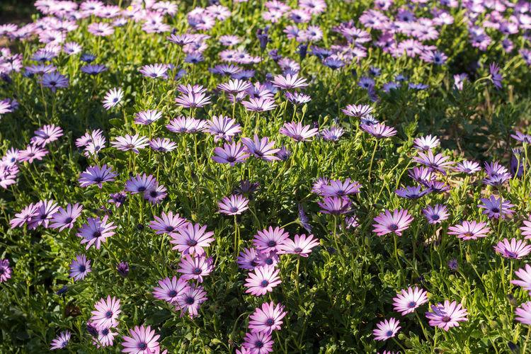 Osteospermum flowers blooming on field