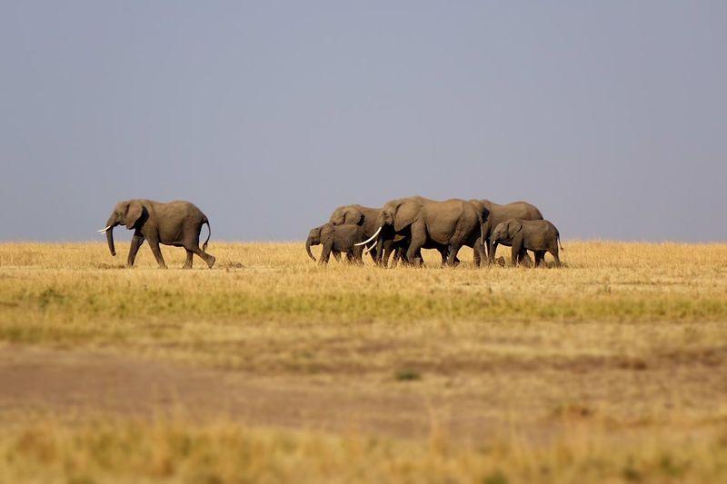 EyeEm Selects Animals In The Wild Elephant Animal Wildlife Animal Themes Safari Animals Mammal