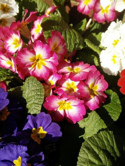Primeln Primulas Spring Flowers Colourful Nature