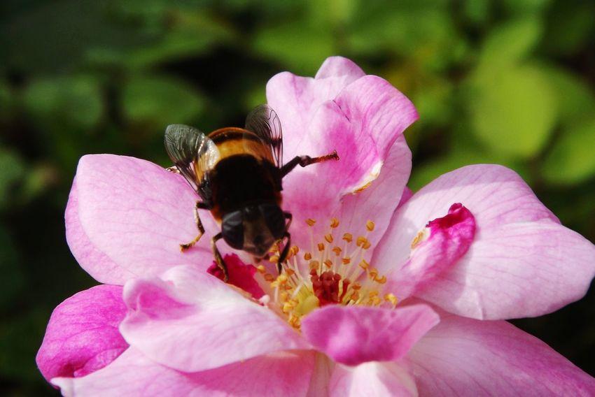 あんまり見つめられると照れますよ~🐝 Spring Flower 蜂 Eye Em Nature Lover