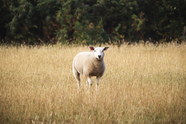 Sheep looking in long grass. Agriculture Farm Farmland Lamb Animal Animal Themes Animals Day Domestic Field Grass Lamb Lambs Land Livestock Looking At Camera Mammal Nature No People One Animal Plant Portrait Sheep Standing Wool
