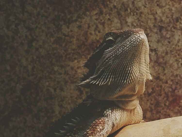 Pet Store Reptile Reptilian Lizard Beardy Bearded Dragon Pets Taking Photos Check This Out