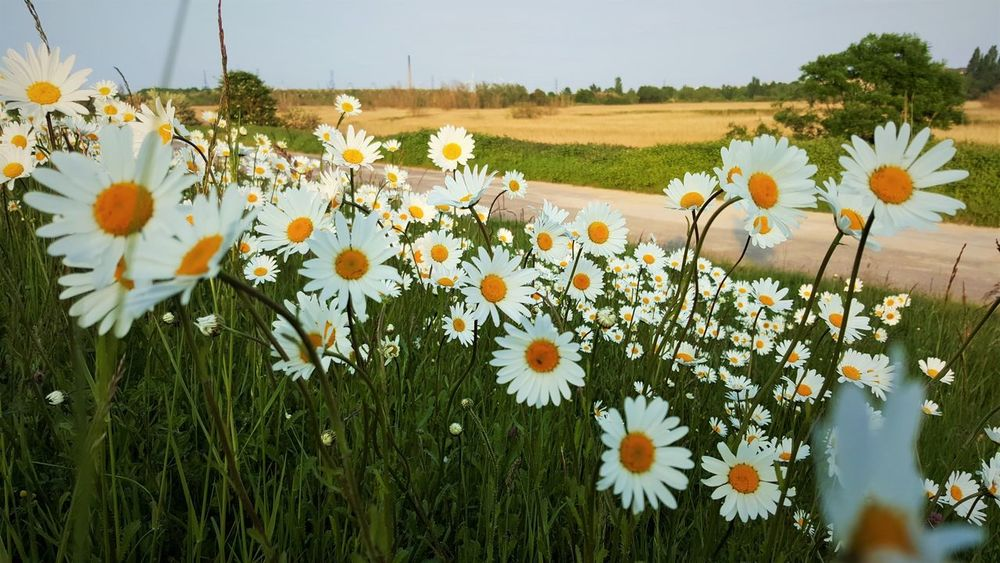 Daisys Beauty In Nature Daisy Flower Freshness Meadow Nature Petal Plant White Color Colour Of Life