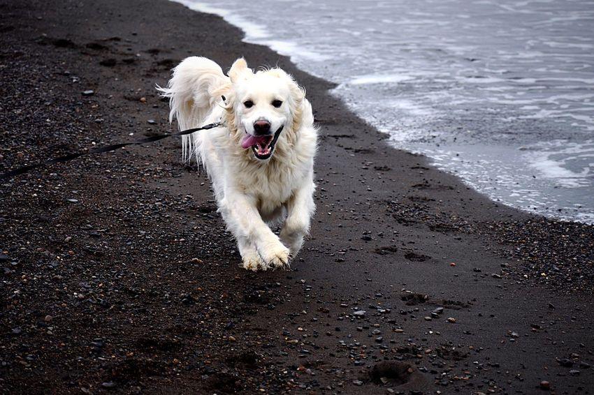 English Golden Retriever running on black sand beach Leash Alaska Arctic Play Dog Canine One Animal Domestic Pets Domestic Animals Mammal Animal Themes Animal Beach Motion Running Vertebrate Water Land White Color Sand Sea Day No People