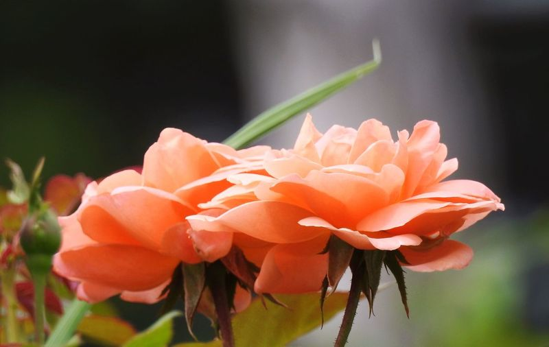Close-Up Of Peach Roses Blooming Outdoors