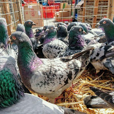 Comme des pigeons en cage.... Pigeon Pigeons Pigeon Bird  Volatile Marketplace Market Agora Birds_collection Birds Bird EyeEm Best Shots