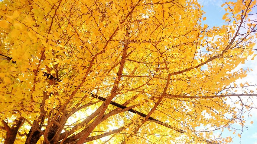 Tree Yellow Low Angle View Nature Beauty In Nature No People Branch Nature Beauty Of Nature Nature Of Beauty Harmony Of Colours Growth Outdoors Sky Close-up Day 銀杏 銀杏の木 Kyoto Japan