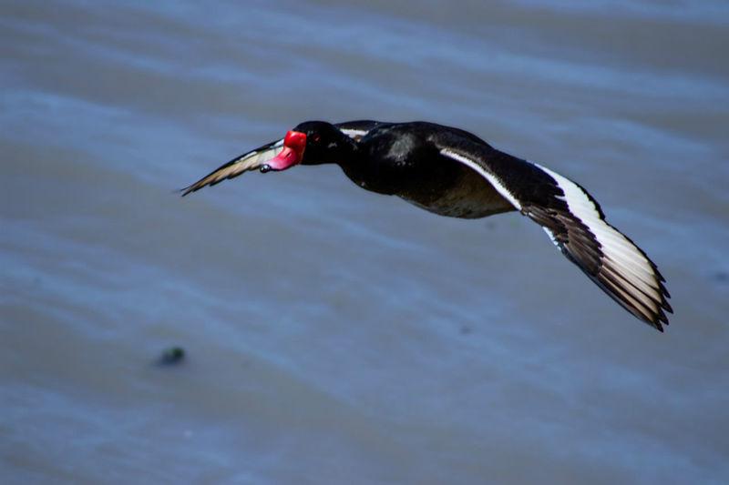 Bird Red Spread