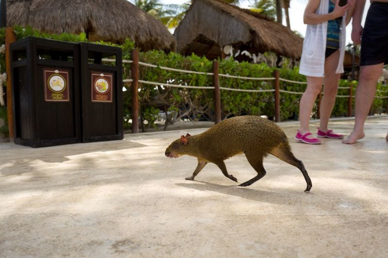 Low section of people standing by capybara