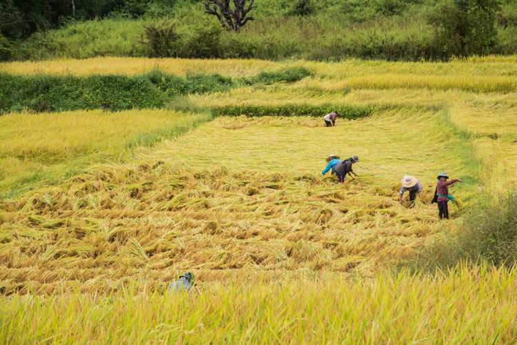 Agriculture Beauty In Nature Crop  Day Farm Farm Worker Farmer Field Green Color Growth Landscape Men Nature Occupation Outdoors Real People Rural Scene Working