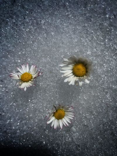 High angle view of daisy on road