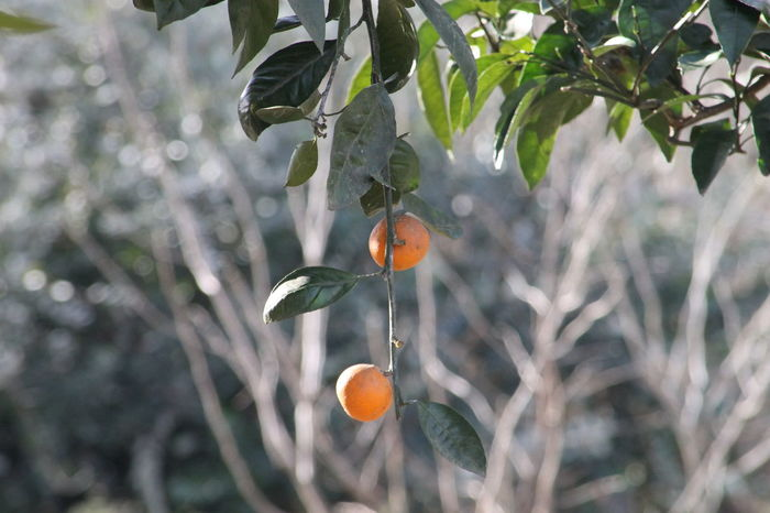 Beauty In Nature Branch Close-up Day Focus On Foreground Freshness Fruit Growth Leaf Nature No People Orange Color Orange Tree Outdoors Tangerine Tree