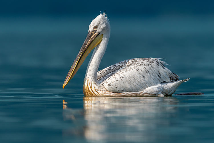 View of pelican swimming in lake