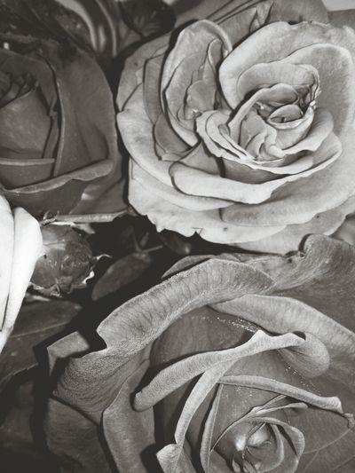 Flower Head Flower Backgrounds Rose - Flower Full Frame Petal Close-up
