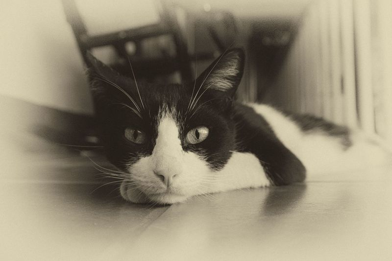 Animal Eye Animal Head  Animal Themes Black And White Cat Close-up Domestic Animals Domestic Cat Feline Looking At Camera Monochrome Old School Old Style Pets Photography In Motion Selective Focus Staring Watching At You Showcase April