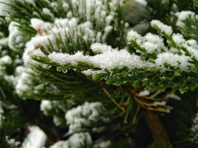 Snow ❄ Evergreen Cellphone Photography Cellphy Evergreen Trees Spring Springtime Spring Time In The Rockies Spring Snow