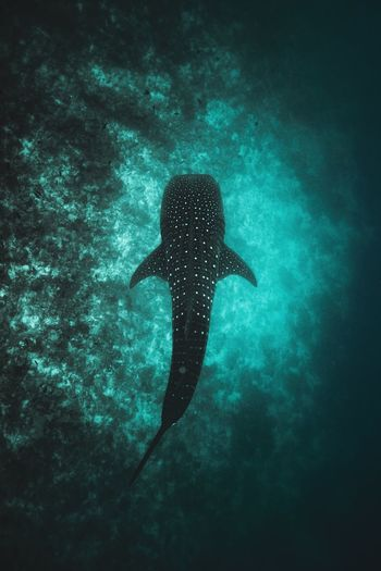 Whale Shark Topview Shark Wallart Wallpaper Whaleshark Animals In The Wild Animal Wildlife Animal Themes Underwater Animal One Animal UnderSea Water Beauty In Nature Nature Sea Life Marine Swimming Vertebrate No People Fish Turquoise Colored Sea Outdoors Day