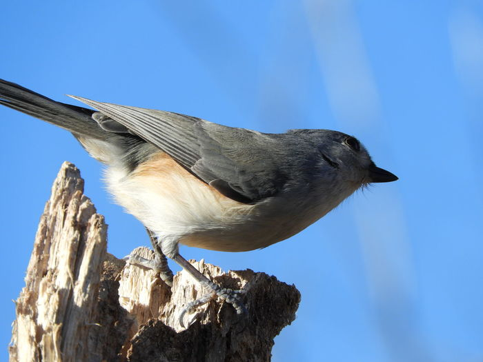 Tufted Titmouse Tufted Titmouse Perching Bird And Blue Sky Bird Nature Photography Nature Beauty In Nature Peaceful Calm Bird On A Branch Birds Of EyeEm  Bird Photography Bird In Nature Birds_collection Bird Watching Sky Close-up Perching
