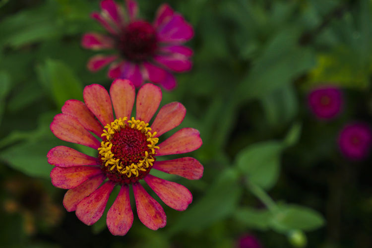 The red zinnia