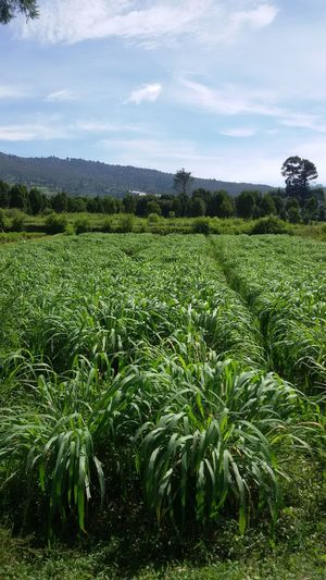 Citronella Plantation Agriculture Beauty In Nature Citronella Citronella Plant Citronella Plantation Cloud - Sky Farm Field Green Color Growth Landscape Nature No People Rural Scene