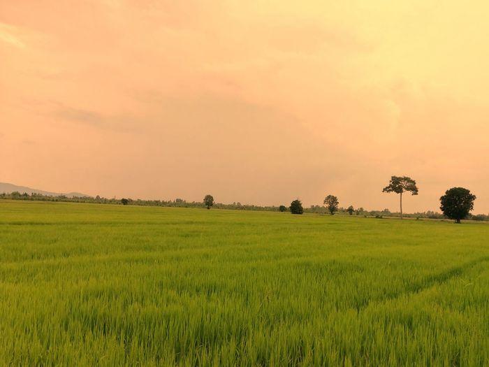 paddy rice