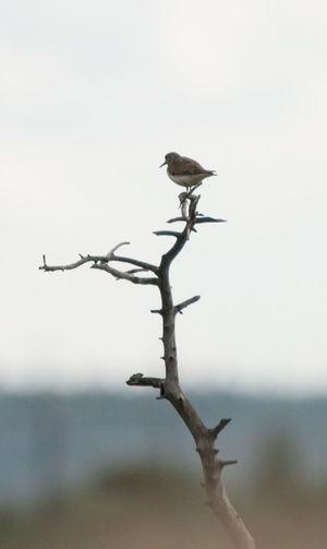 Bird Calidris Temmickii Lapland Nature No People Norway Wildlife