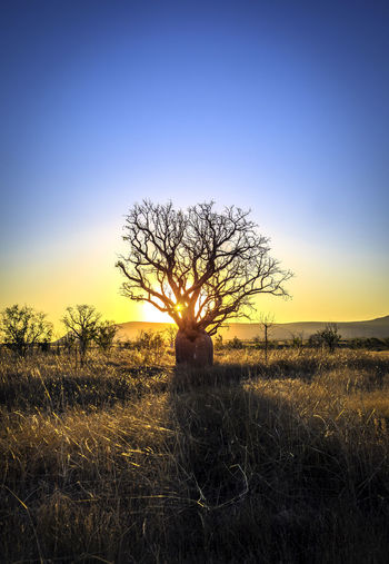 Lone Boab Tree on sunset. Australian Landscape EyeEmNewHere Outback Bare Tree Beauty In Nature Boab Tree Day Field Grass Horizon Over Land Isolated Landscape Landscape #Nature #photography Landscape_photography Lone Nature No People Outback Australia Outdoors Scenics Silhouette Sky Solitude Sunset Tranquil Scene Tranquility Tree