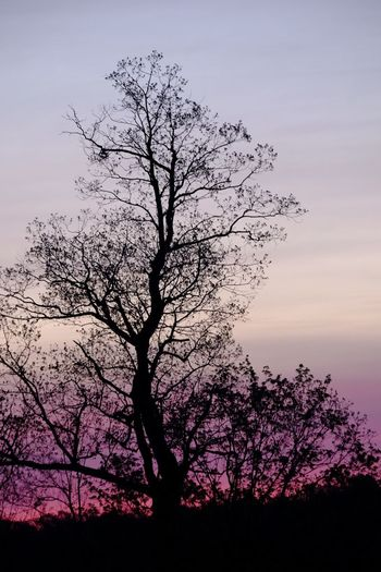 Tree Nature Branch Sky Bare Tree Sunset No People Growth Beauty In Nature Tranquility Silhouette Lone Outdoors Isolated Day Purple Sunset Purple Sunrise