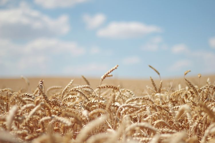 Cereal Plant Rural Scene Wheat Gold Colored Sky Close-up Landscape Plant Farmland Cultivated Land
