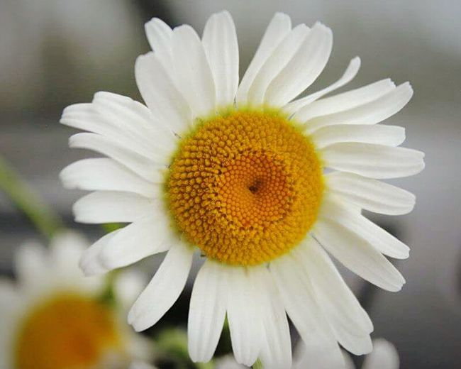 Daisy Flower Fractal Flower Fractals In Nature Geometry In Nature Naturelovers Patterns In Nature Beauty In Ordinary Things Beauty In Everything Amazing Nature Geometry Of Life Geometry Everywhere Geometry Of Nature Geometrybeauty