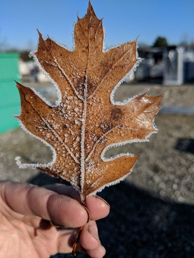 Cropped hand holding frosted leaf