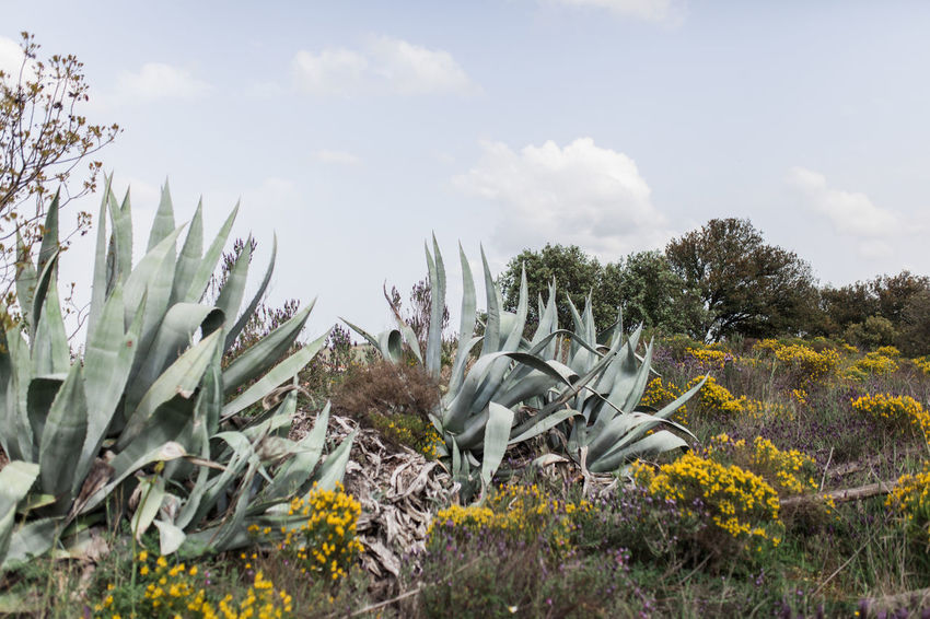 Agavoideae Fleshy Leaves Agave Leaf Asparagaceae Asparagales Cactus Nature Portugal Succulents Agave Agave Americana Agave Fields Agave Flower Agave Plant Agaves Alentejo Cactus Collection Environment Flowering Plant Monocot Nature_collection Perennial Plant Succulent Plant Tranquil Scene