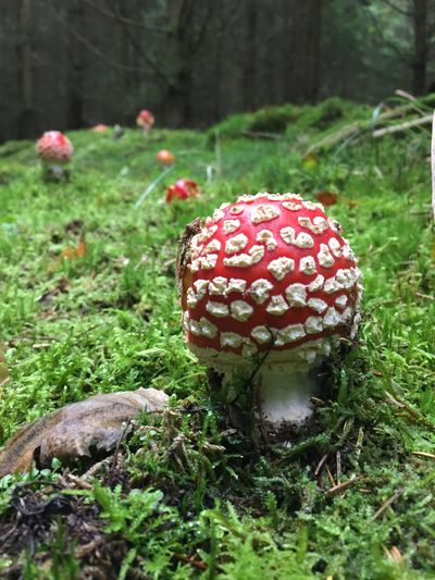 Wood Forest Toxic Dots Spotted Drug Plant Mushroom Fungus Growth Land Nature Fly Agaric Mushroom Field Vegetable Grass Beauty In Nature Tree Green Color Red Close-up Focus On Foreground