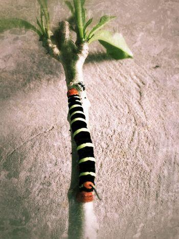 Caterpillar seen on August 3, 2014 in Trinidad. #LifeInAVillage