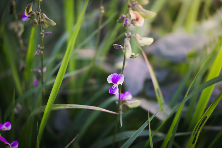 Beauty In Nature Close-up Day Field Flower Flower Head Flowering Plant Focus On Foreground Fragility Freshness Green Color Growth Inflorescence Nature No People Outdoors Petal Plant Plant Stem Purple Selective Focus Vulnerability