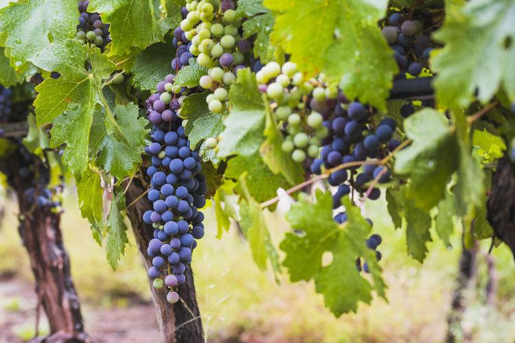 Grapes growing in vineyard
