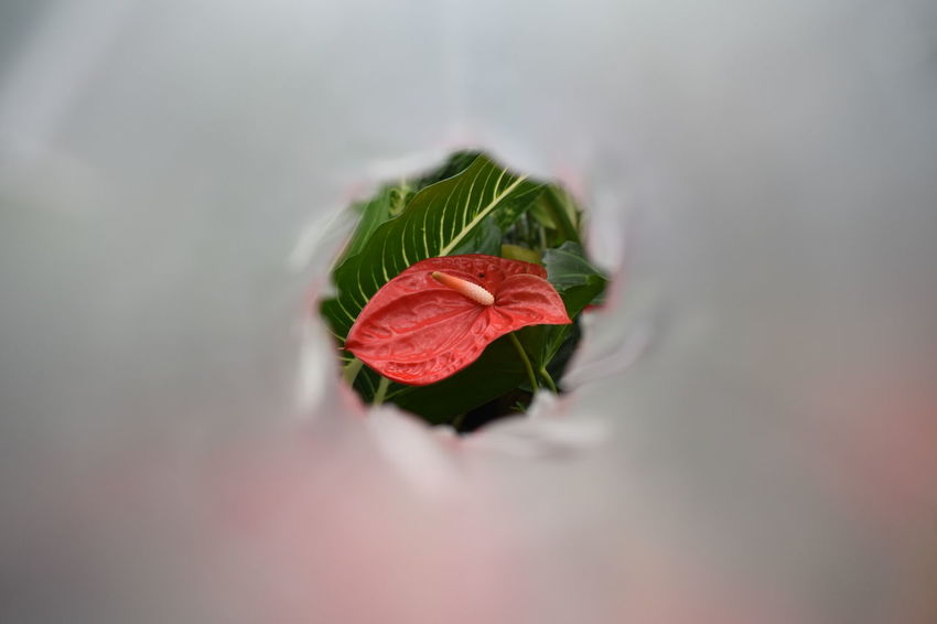 Red Flamingo flower on blurry grey background Beauty In Nature Boy Flower Close-up Flower Fragility Freshness Nature No People Plant Red Red Flamingo Flower Selective Focus Vulnerability