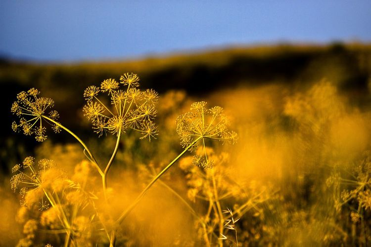 Yellow plants with blue sky. Plant Flower Flowering Plant Beauty In Nature Growth Freshness Fragility Nature No People Close-up Vulnerability  Selective Focus Field Land Yellow Tranquility Day Outdoors Focus On Foreground Flower Head Herb Softness