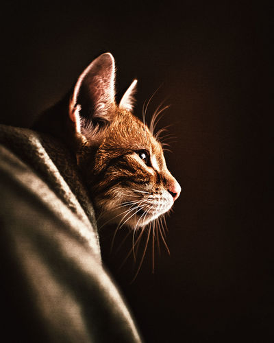 Close-up of a cat over black background