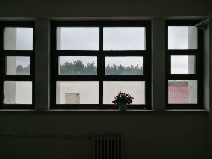 The lone cyclamen Window