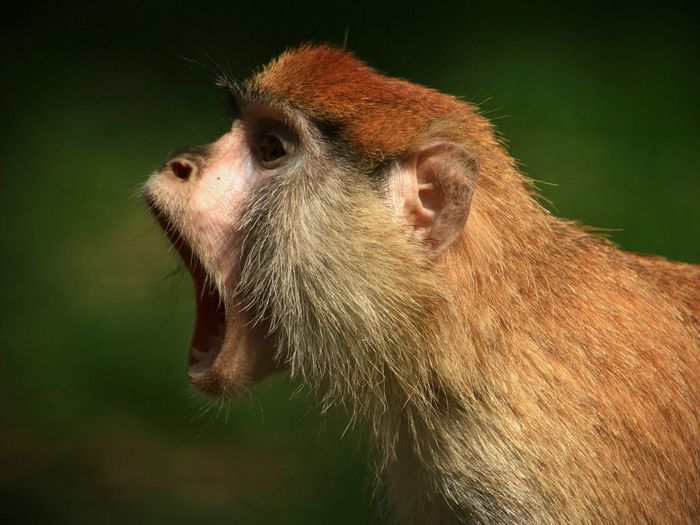 Side view of monkey with mouth open