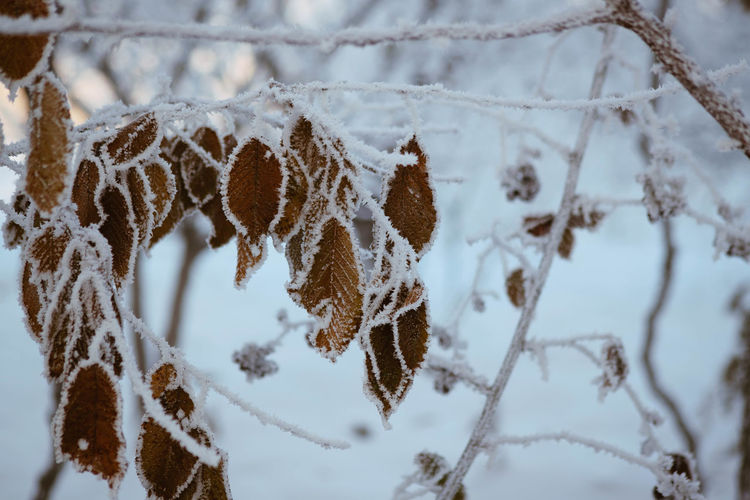 Winter Snow Cold Temperature Close-up Frozen No People Nature Focus On Foreground Plant Day Beauty In Nature White Color Ice Tree Frost Outdoors Branch Covering Dry