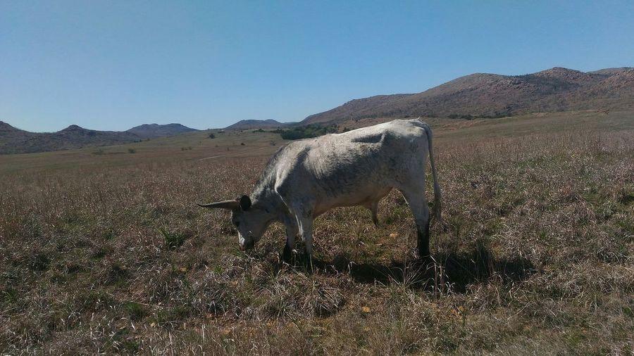 Cow Cow Moo Grass Oklahoma Butiful Nature Taking Photos Tall Grass