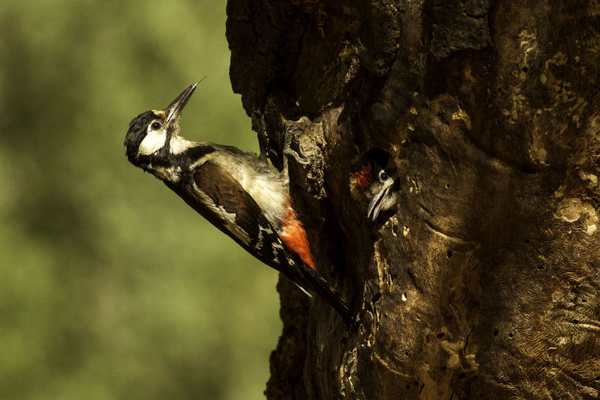 Animal Body Part Animal Themes Animal Wildlife Animals In The Wild Bird Bird Photography Birds Of EyeEm  Close-up Day Dendrocopos Major European Birds Focus On Foreground Great Spotted Woodpecker Insect Mammal Nature Nature Photography No People One Animal Outdoors Western Palearctic